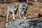 Timber Wolf Pair on Rocks  by Michael Cummings