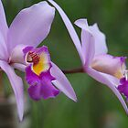 Orchid #1 by Virginia McGowan