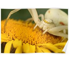 White crab spider Poster
