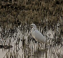 Little Egret by Jon Lees