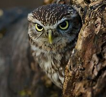 Little owl in a tree by Angi Wallace
