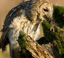 Tawny owl eating by Angi Wallace