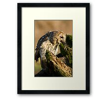Tawny owl eating Framed Print