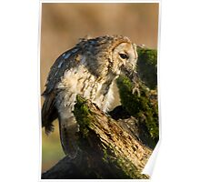 Tawny owl eating Poster