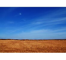 Sheep in the Stubble Field Photographic Print