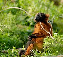 Red ruffed lemur Varecia rubra by buttonpresser