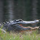 Florida Alligators by Karen  Moore