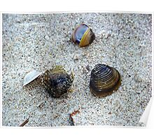 Mussel Shells Poster