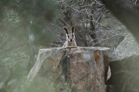 Yellow-footed Rock Wallaby / Petrogale xanthopus xanthopus by John Martin
