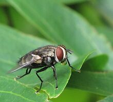 Mr Fly! by minniemanx