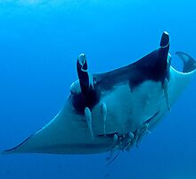 Manta Ray by wildshot