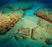 Blue Spotted Ray by wildshot