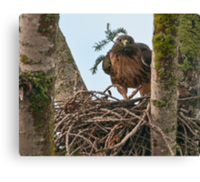 Red Tailed Hawk Lining His Nest Canvas Print