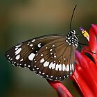 butterfly on red flower by footsiephoto