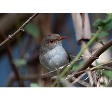 Female Fairy Wren Photographic Print