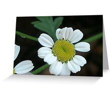 White Daisy, suburban Ballarat Garden Greeting Card