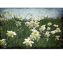 A Field of Daffodils Photographic Print