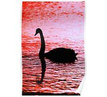 Black Swan - Lake Samsonvale Poster