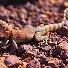 pilbara lizard by dmaxwell