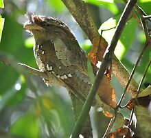 Sri Lanka Frogmouth (Batrachostomus moniliger), Periyar NP, Kerala, India by sahoaction