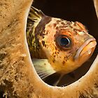 Rock Cod hangin out by lgraham