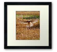 Kestrel on the hunt Framed Print