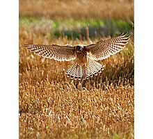 Kestrel on the hunt Photographic Print