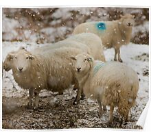 Sheep in snow Poster