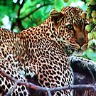The Leopard Awaits... by Pam Moore