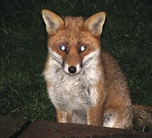 Fox in the half light  by footlight