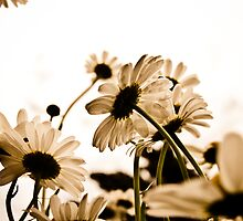 Daisy by AlexGoulet