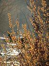 WILD Hazel Nut Blossoms by NatureGreeting Cards ©ccwri