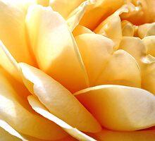 Sunrise Rose by Marina Raspolich