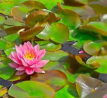 Waterlilly by Marion Daly