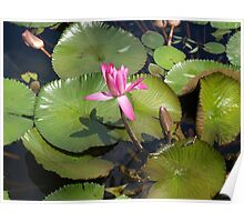 Pink Waterlilies at Mt.Coot-tha Poster