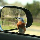 Eastern Bluebird by Howard & Rebecca Taylor