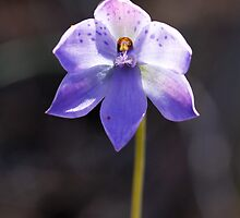 Spotted Sun Orchid - Thelymitra Ixioides (backlit) by Paul Piko
