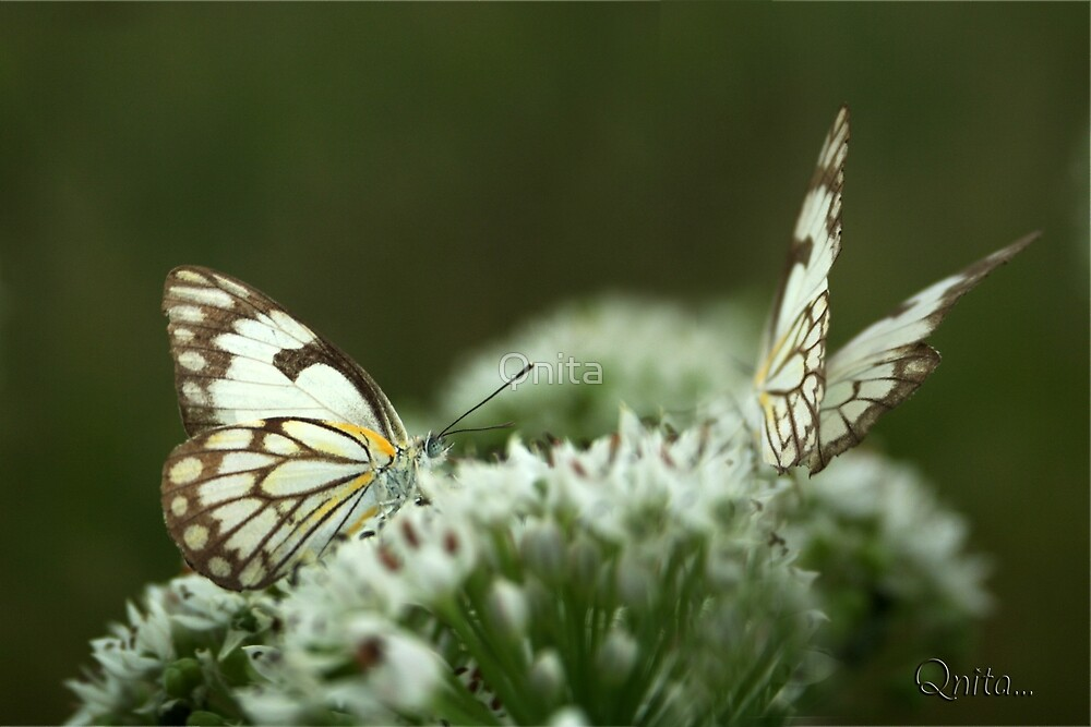 "Two Posing... ""Brown-veined White butterfly"" (Belenois aurota) Free State, South Africa by Qnita"