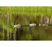 Goslings in Tow Photographic Print