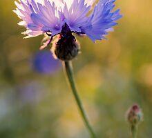 Wild Cornflower by JEZ22