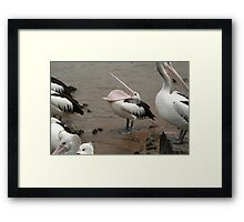 pelican being silly Framed Print