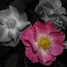 selective pink rose by sallysphotos