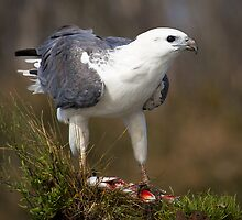 White Bellied Sea Eagle by Bob Wickham