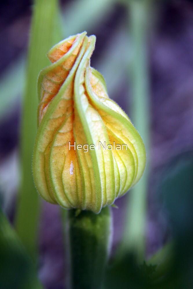 Budding Zucchini by Hege Nolan