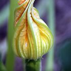 Budding Zucchini by Hege Nolan