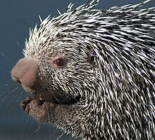 Porcupine Poised by Kathy Newton