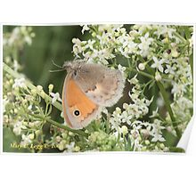Small Heath Coenonympha pamphilus Poster