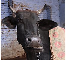 Cow for Pete Lee and other bovine botherers  Photographic Print