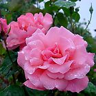 Queen Elizabeth Roses after the rain by BronReid