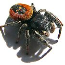 Black Skull on  it's Back<> Red jumping spider  by Chuck Gardner